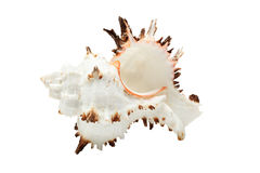 Beautiful seashell isolated over white Stock Photo