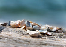 Beautiful seashells Stock Image
