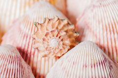 Beautiful seashells close-up in Royalty Free Stock Photos