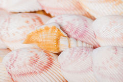 Beautiful seashells close-up Stock Photography