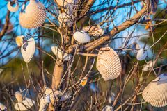 Beautiful seashells hang on a tree in Anna Maria Island, Florida. A very fine sandy beach with colorful seashells in it at the island of Anna Maria Key royalty free stock photos