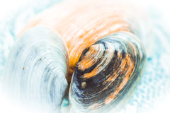 Beautiful seashells Stock Images