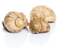 Beautiful seashells. On white background Royalty Free Stock Images