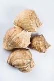 Beautiful seashells. On white background Royalty Free Stock Image