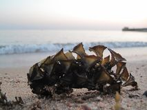 Beautiful seaweed on the shore stock images