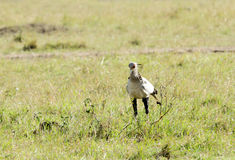 A beautiful Secretary bird, kenya Stock Photo