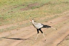 A beautiful Secretary bird in Masai Mara open savanna Grassland Royalty Free Stock Photos