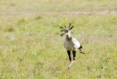 A beautiful Secretary bird in the savanna Stock Photos