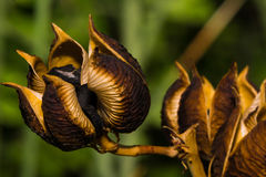 Beautiful Seed Pods Ready To Be Disbursed Stock Images