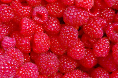 A beautiful selection of freshly picked ripe red raspberries. Royalty Free Stock Image
