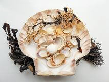 Beautiful selection of unusual seaside shells & seaweed. Beautiful selection of unusual seaside shells and seaweed on a white background Royalty Free Stock Image