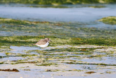 Beautiful Semipalmated Sandpiper in low tide Royalty Free Stock Photos
