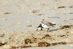 A beautiful Semipalmated Sandpiper Royalty Free Stock Photography