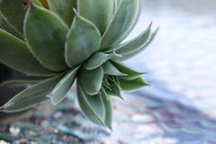 Beautiful Sempervivum tectorum in garden Royalty Free Stock Photos