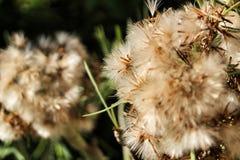 Senecio Kleinia plant in the garden stock images