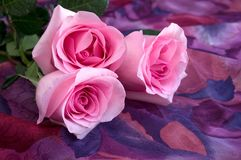 Beautiful Sensual Pink Roses on Colorful Background royalty free stock photo