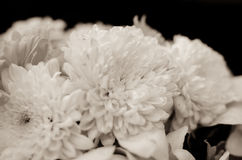 Beautiful sepia toned Gerbera daisy flower Royalty Free Stock Photos