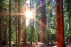 Beautiful sequoia Stock Images