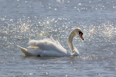 Beautiful serene nature image of mute swan on water bathed in su Royalty Free Stock Photography