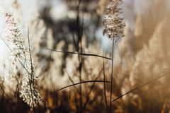 Serene reeds swaying in the sun. stock photos