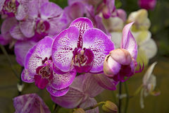 Beautiful serenevye orchids with color pattern on the petals. Botanical Garden Royalty Free Stock Photo
