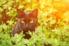 Beautiful serious bombay black cat portrait with yellow eyes in grass in sunlight. Beautiful serious bombay black cat portrait with yellow eyes and attentive stock photography