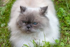 Beautiful serious fluffy cat with blue eyes stock images