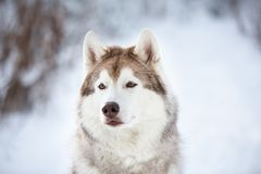 Beautiful, serious and free Siberian Husky dog sitting on the snow in the fairy forest in winter. Close-up Portrait of stoned beautiful, serious and free stock photo
