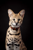 Beautiful serval, Leptailurus serval. On the black background stock photography