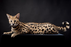 Beautiful serval, Leptailurus serval Stock Photography