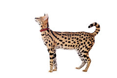 Beautiful serval, Leptailurus serval. Isolated on the white background stock photography