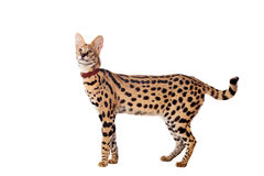 Beautiful serval, Leptailurus serval. Isolated on the white background royalty free stock photography