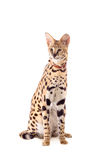 Beautiful serval, Leptailurus serval Stock Image