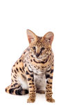 Beautiful serval, Leptailurus serval. Isolated on the white background stock images