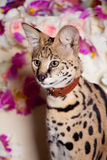 Beautiful serval, Leptailurus serval. With violet flowers stock photo