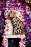 Beautiful serval, Leptailurus serval Stock Photos