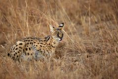 Beautiful Serval Wild Cat during dusk Royalty Free Stock Photo
