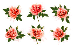 Beautiful set of pink ornate roses with leaves. Stock Image