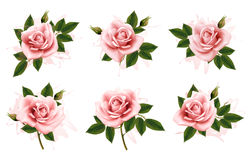 Beautiful set of pink ornate roses with leaves. Royalty Free Stock Image