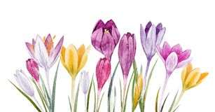 Watercolor floral crocus set. Beautiful set with watercolor hand drawn spring crocus flowers Royalty Free Stock Photo
