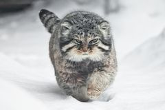 Beautiful but severe fluffy and angry wild cat manul is walking in the snow right at you full face, a white snow background. A beautiful but severe fluffy and royalty free stock images