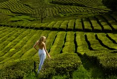 Beautiful and sexy blonde woman in white long dress walks along the green tea plantation. Green field of tea plantation in Azores, Portugal, with blonde woman in Royalty Free Stock Photo