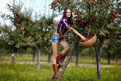 Beautiful sexy woman picking apples Stock Image