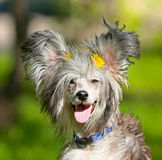 Beautiful shaggy dog on a blurred background. Royalty Free Stock Images