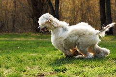 Beautiful shaggy dog breed Afghan in the summer frolicking on th. E grass, running and jumping in the evening sun Royalty Free Stock Images