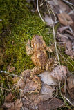 A beautiful shallow depth of field closeup of a toad in a natural habitat. In early spring Stock Photography