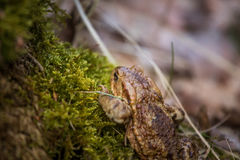 A beautiful shallow depth of field closeup of a toad in a natural habitat. In early spring Royalty Free Stock Photo