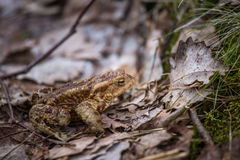 A beautiful shallow depth of field closeup of a toad in a natural habitat. In early spring Stock Images