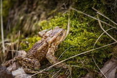 A beautiful shallow depth of field closeup of a toad in a natural habitat. In early spring Stock Photo