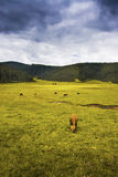 Beautiful shangri-la grassland pastures Stock Images